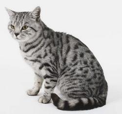 Британцы коты фото полосатые