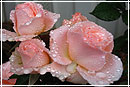 Уход за розами: королева цветов в домашних условиях