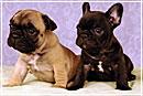 Французский бульдог для богатых: элитная собака для внимательных хозяев