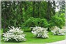 Декоративные кустарники: из сада – в дом