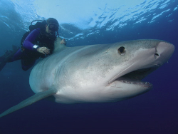 плавание с акулами