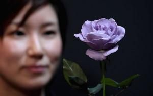В ноябре голубая роза Applause будет представлена в Америке