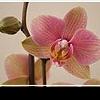 Как ухаживать за орхидеями в домашних условиях: внимание и деликатность