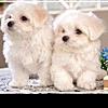 Пять самых преданных пород собак