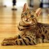 Самые дорогие породы кошек - сколько стоит пушистая любовь?