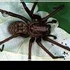 Мой милый пушистый любимец... паук