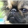 Пекинес: смешная собака с сердцем льва