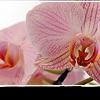 Орхидеи: хобби королей