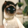 Сиамские кошки - обаятельные и привлекательные