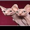 10 самых необычных пород кошек